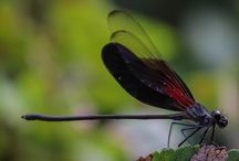 Dragonflies / Dragonfly Photography. Original photos of many varieties of dragonflies.