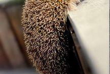 Horacio (hedgehog)