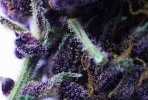 Cannabis / Cannabis nug shots!