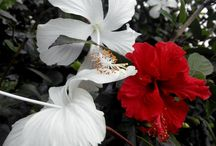 Improve Memory Naturally. Memory Flower (shoe flower, Hibiscus Rosa