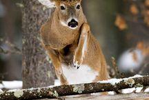 Охотничьи животные / Охота, природа, олень, Сибирская косуля.