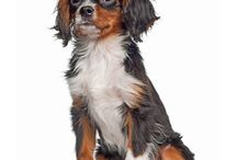 King Charles Spaniel / The original King Charles Spaniels were made famous by their association with Charles II of England (1630–1685) who adored small dogs. However they have been linked with English royalty since the time of Mary Tudor (1516–1558). In many17th-century paintings, these elegant canines sit on the laps of princes and princesses. - See more at: http://www.noahsdogs.com/m/dogs/breed/King-Charles-Spaniel#sthash.NZ0SYQgR.dpuf