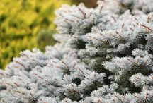 beautifying with conifers