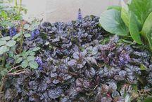 Garden - Groundcovers