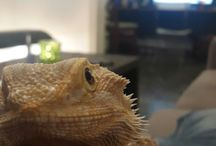 bearded dragon (NANA)