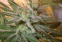 sweet 420