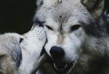 pejsci vlci miláčci