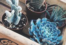 Cactuss Succulents and Air Plants