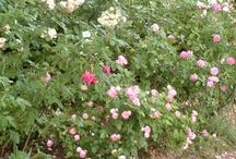 Mes roses anciennes et + / Ce tableau, je l'ai créé pour vous faire partager mon amour pour les roses anciennes.