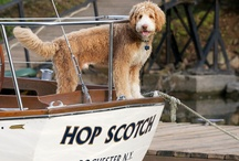 Our Goldendoodle / After 7 Bernese Mountain Dogs we switched to a Goldendoodle.  The smartest dog we have ever had.
