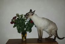 All Siamese & Oriental & Peterbald Cats / Meet my family♡