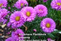Exclusiv finnish perennials / Wickmans Nursery's board where we starts to collect finnish native perennials and finnish hybrids of perrennials.
