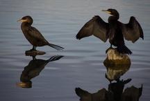 Vogellijst van Costa Rica Aratinga Tours/SNP. / 2 t/m 15 nov 2013