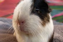 Guineapig Lovers - Wallie's Story! / This is the story of Wallie & his 3 girlfriends!