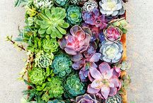 SUCCULENTS / Those gorgeous little plants