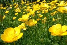 Boterbloem - Ranunculus
