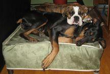 Boxer / Celebrating boxers / by Kuranda Dog Beds
