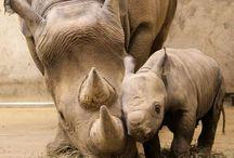 Family Rhinocerotide. / Includes Rhinoceros.