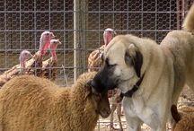 Baa Baa Sheepie things