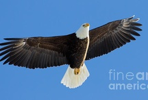 Eagles and Osprey / All of these photos, as well as my other images are available as greeting cards, prints, etc.