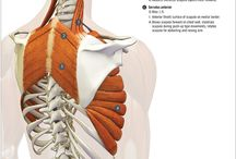 Anatomy on different muscles / Muscles