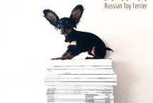 RUSSIAN TOY TERRIER / Some pics of my dog Tamara & other fav photos of Russian Toy Terriers