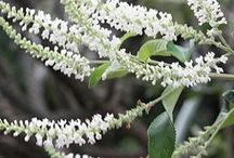 """2015 Aloysia PDN / he genus Aloysia is a verbena relative containing about 35 species of intensely fragrant shrubs from the Southwest US to Chile. Some species (i.e., Aloysia triphylla aka Lemon Verbena) have fragrant leaves (when bruised) but other species, (i.e., Aloysia virgata) have powerfully fragrant flowers. Aloysia flowers attract butterflies. The genus Aloysia got its name the Spanish phrase """"Herba Louisa"""" referring to Princess Louisa, the wife of King Carlos IV of Spain."""