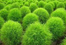 Låga växter