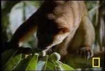 KINKAJOU / Τα KINKAJOU ανήκουν στην οικογένεια Procyonidae , η οποία περιλαμβάνει επίσης coatis , Ρακούν και Ringtails .
