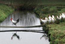 Farm birds / by Johannafaye Gannon