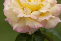 Roses!