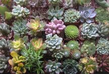 Succulents Oh My / by Anna Knaus