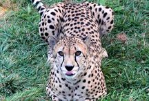 Cheetahs / They're the fastest land animals in the world, and you can see them at the Toledo Zoo's Cheetah Valley.