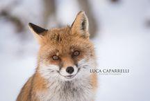 WildLife - Fotografia Naturalistica / Le mie fotografie nella natura. www.lucacaparrelliph.it