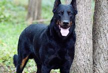 Beauceron / Beaucerons are big but graceful herders immediately recognized by their dark black coats with squirrel-red markings, including their trademark red stockings. They're also seen in a black-gray-tan coat. Standing as high as 27.5 inches at the shoulder, Beaucerons are in all ways balanced, moderate dogs, immensely strong and seemingly indestructible but never clunky or plodding. The long head is chiseled, and dark brown eyes project an expression the breed's fans describe as frank and confident.