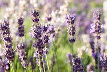 Better types of lavender / Αρωματικά φυτά
