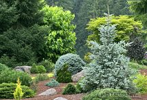 Conifers / by Cindy Hollett