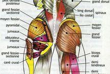 Muscles et anatomie
