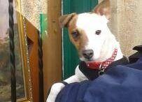 Archie / Parson terrier