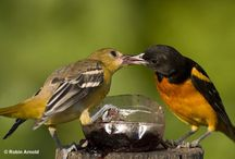 Orioles,blackbirds and tanagers