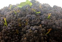 Harvest 2014 / Harvest 2014, grapes sourced from all over the #RussianRiverValley head into our facility to be hand processed into the #wine you know and love!