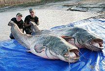 Meerval vissen
