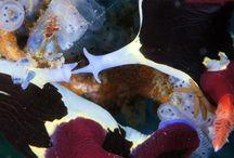 Animaux aquatiques4 Nudibranches (limaces de mer) / à suivre