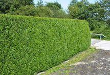 Thuja plicata Atrovirens hedging / Evergreen hedging