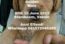 Jual Anjing Golden Retriever