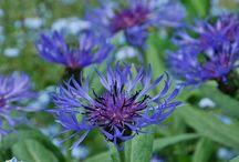kwiaty do wiejskich ogrodów / natural garden