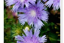 Perennials to Blue Your Mind / Fabulous blue flowering perennials