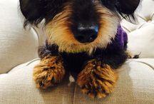 Finn the miniature wired haired dachshund