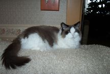 Bicolor Ragdoll Cats