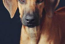 cachorrod